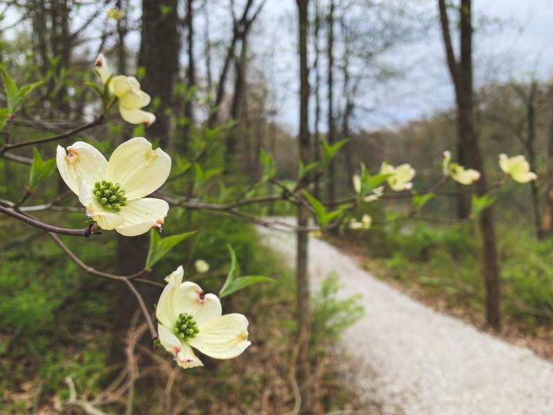 Tiny Dogwood Blooms!