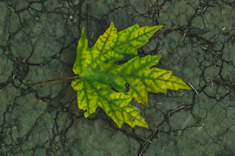 A Fallen Leaf on the parched ground