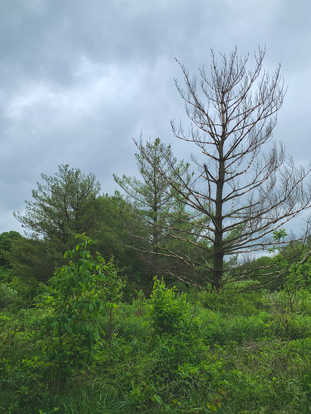 A lot of Pine Trees in the Park