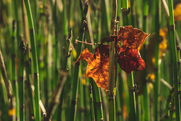 A Fallen Leaf among the Horsetail