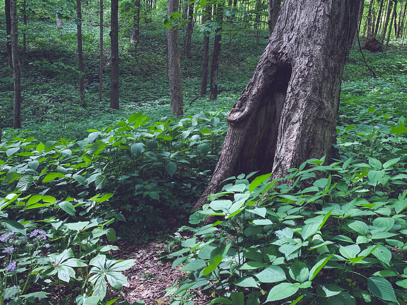 Greenery in the Woods
