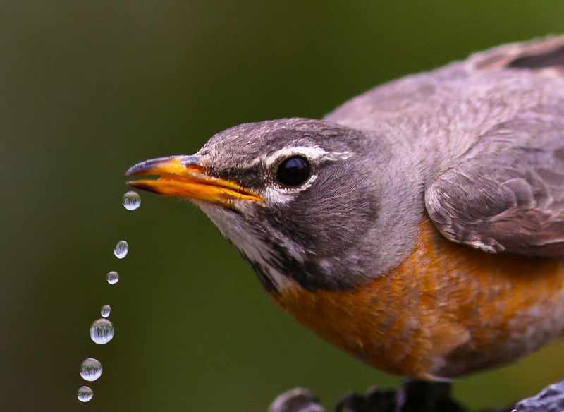 Robin Drinking in Pond.