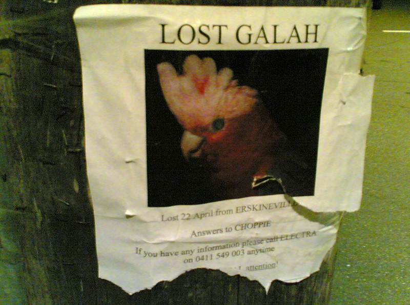 Lost galah, spotted in Newtown