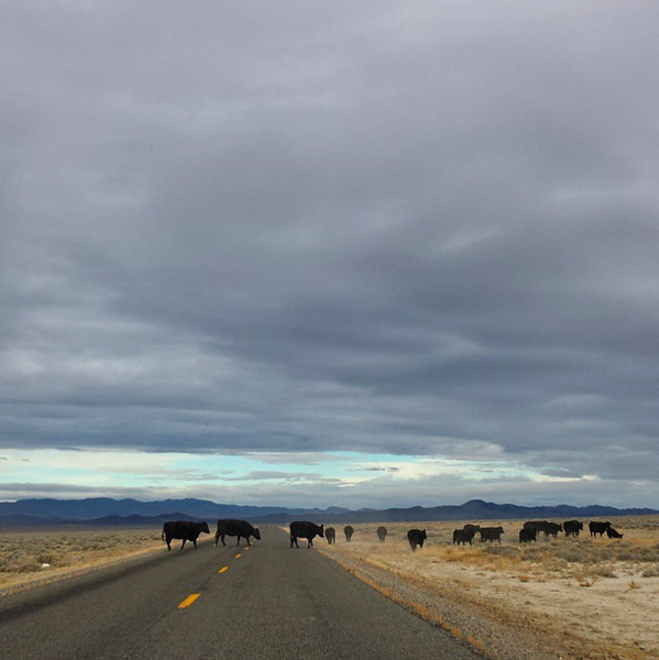 November: cows crossing the road on the Duckwater Indian Reservation, Nev.
