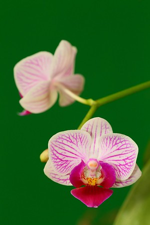 Orchid lit by flash with 5-in-1 customized photo disc light green fabric side as background.