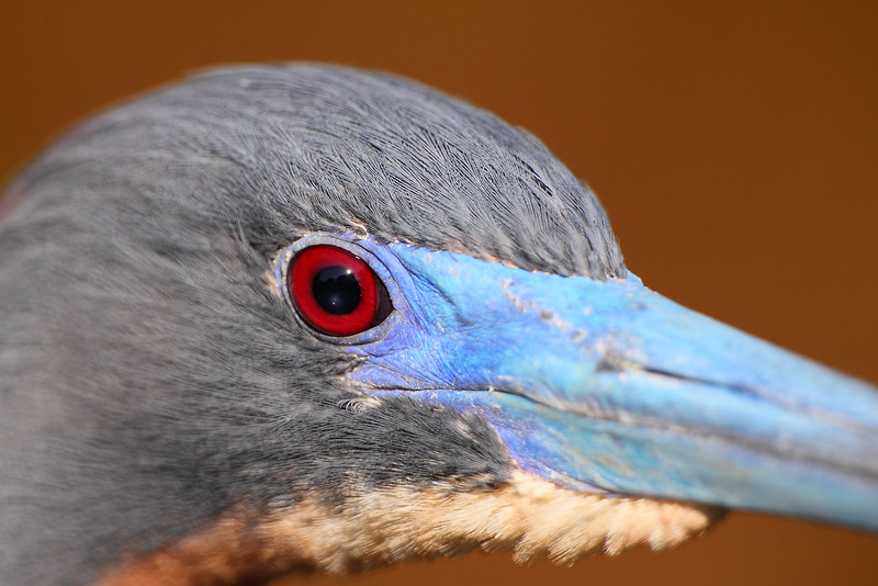 Tri-colored Heron in Florida. © 2011 Kenneth R. Sheide