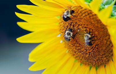 2020 July Sunflowers-5195