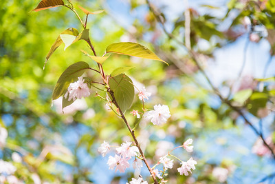 The Sakura or Cherry Blossom, a beautiful flower that blooms in Spring.