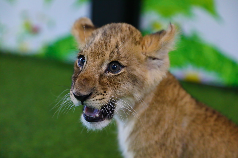 Nala, a rescued 2 month old lion cub