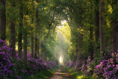 A person in a photo adds scale to the picture. It shows how large the trees actually are and how small we as human are. The blooming rhododendrons and the sunrise in the back of the avenue make this scene feel like the perfect place for a walk. Who would not want to walk here? Credits go to Edwin Mooijaart for showing me this beautiful place.