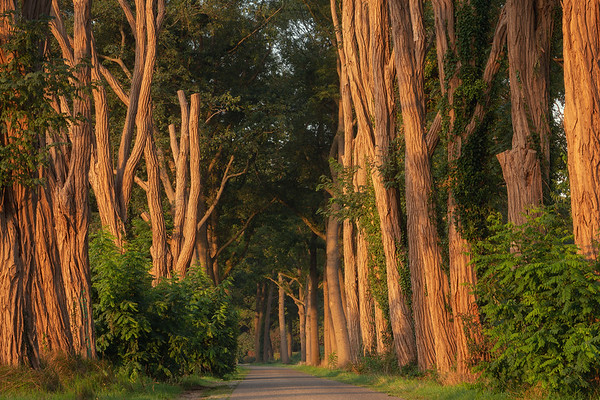 The light just after sunrise creates a beautiful warm glow on the trunks of these acacias. The texture of the trunks of these trees is simply amazing. Unfortunately, several of these beautiful trees have been cut down and that makes taking a good shot here more difficult now.