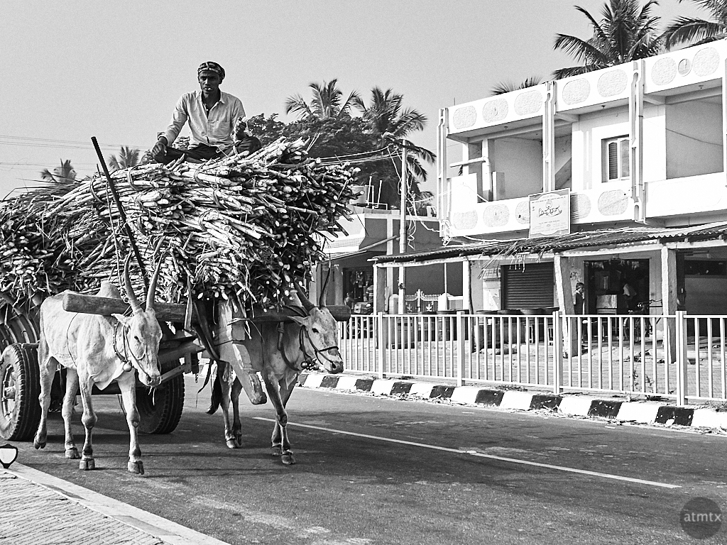 Beast of Burden - Road to Mysore, India