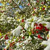 Snow Covered Holly - Austin, Texas