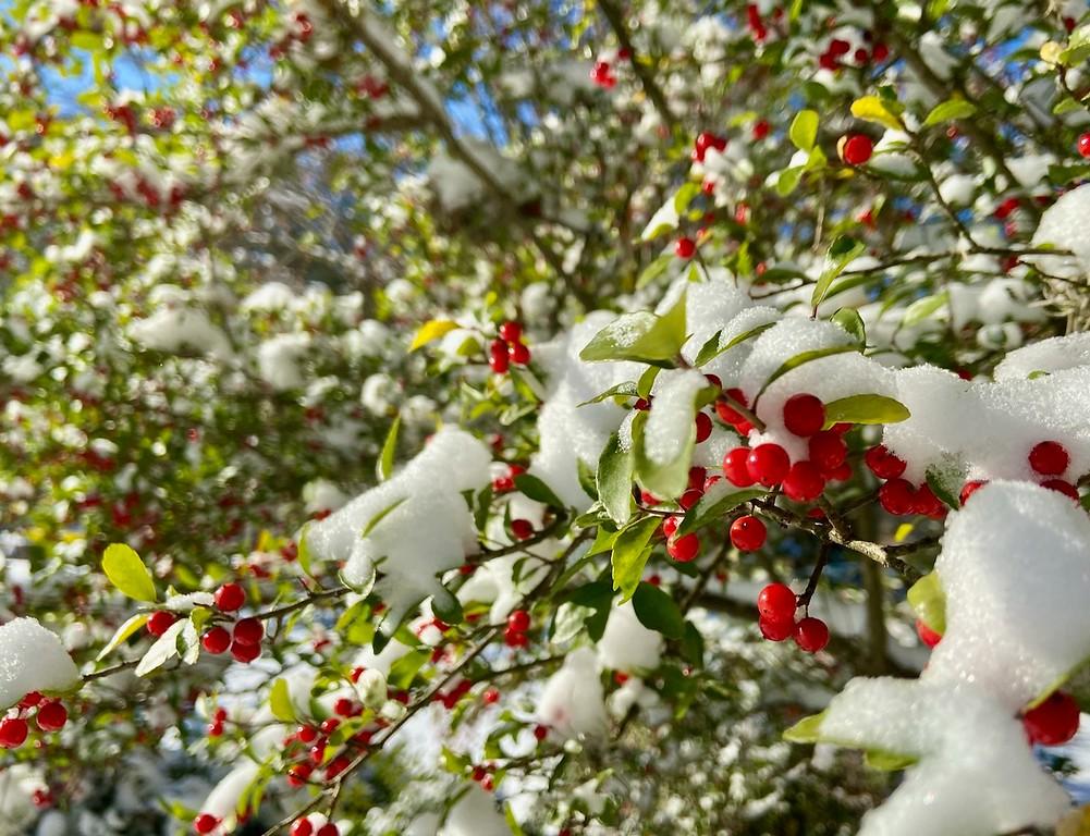Snow Covered Holly - Austin, Texas