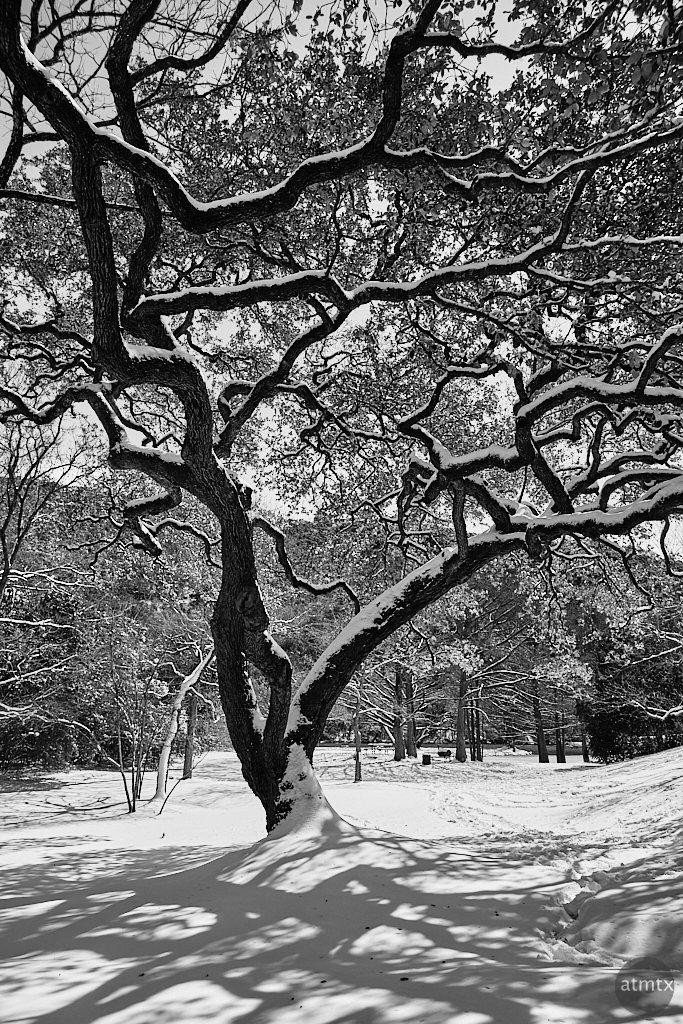 Snow Covered Tree - Austin, Texas