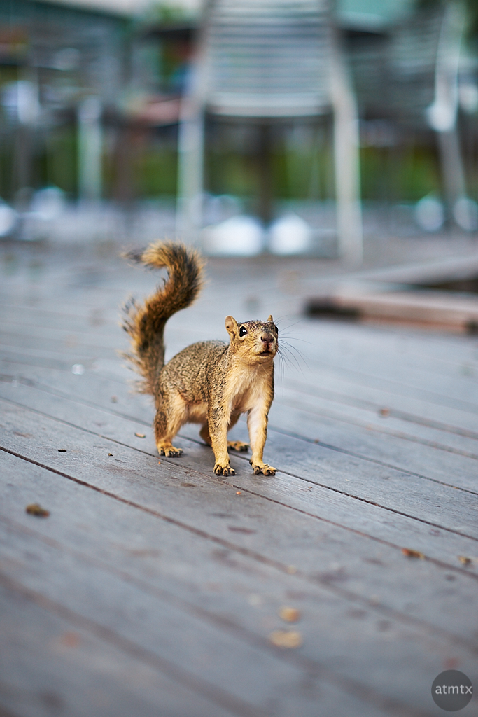 Inquisitive Squirrel, University of Texas - Austin, Texas
