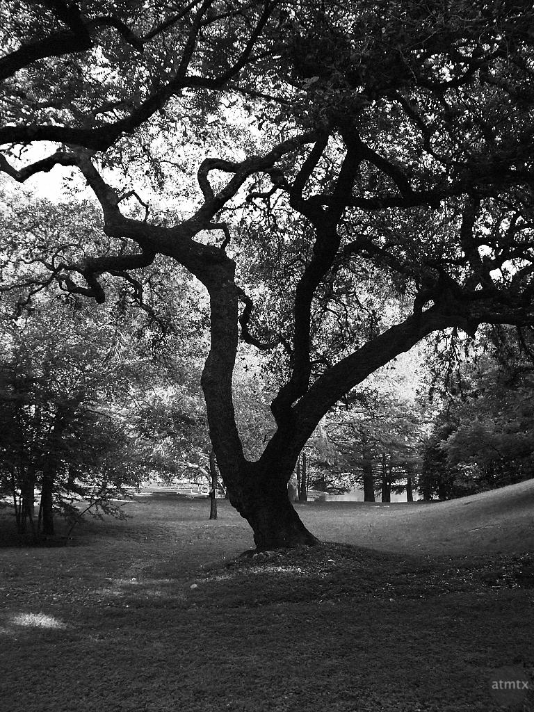 Tree Silhouette - Austin, Texas