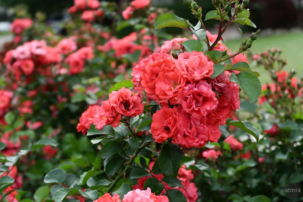 Neighborhood Roses - Austin, Texas