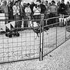 Turkey Races, Rodeo Austin - Austin, Texas