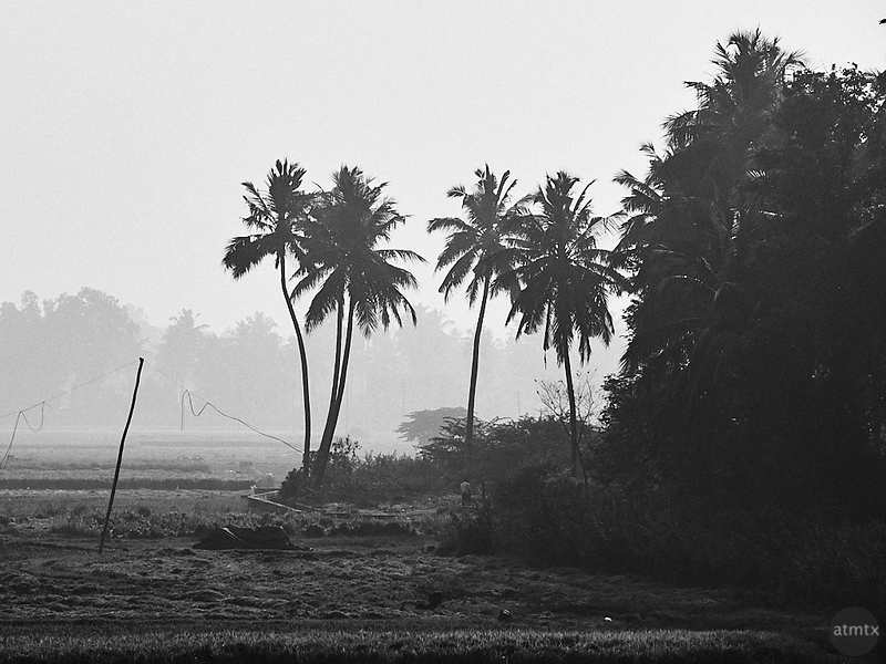 Indian Palm Trees - Road to Mysore, India