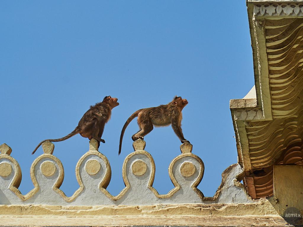 Monkeys in the Wild, Chamundeshwari Temple - Mysore, India