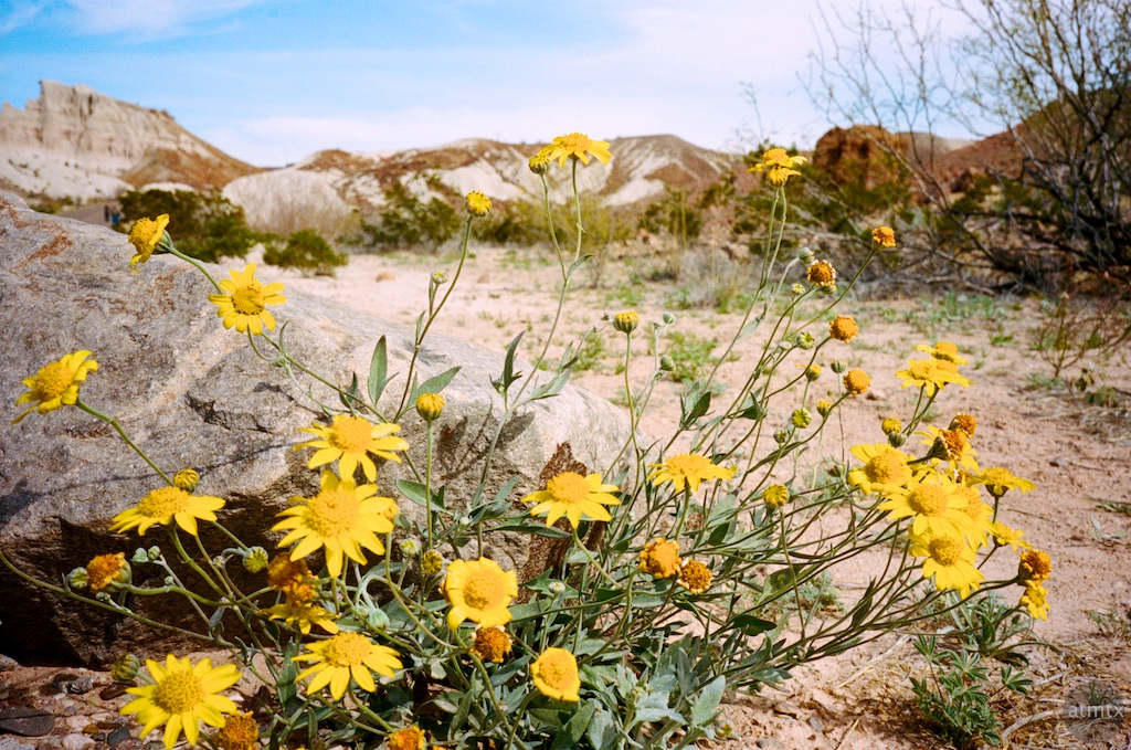 Flowers, Tuff Canyon - Big Bend National Park, Texas