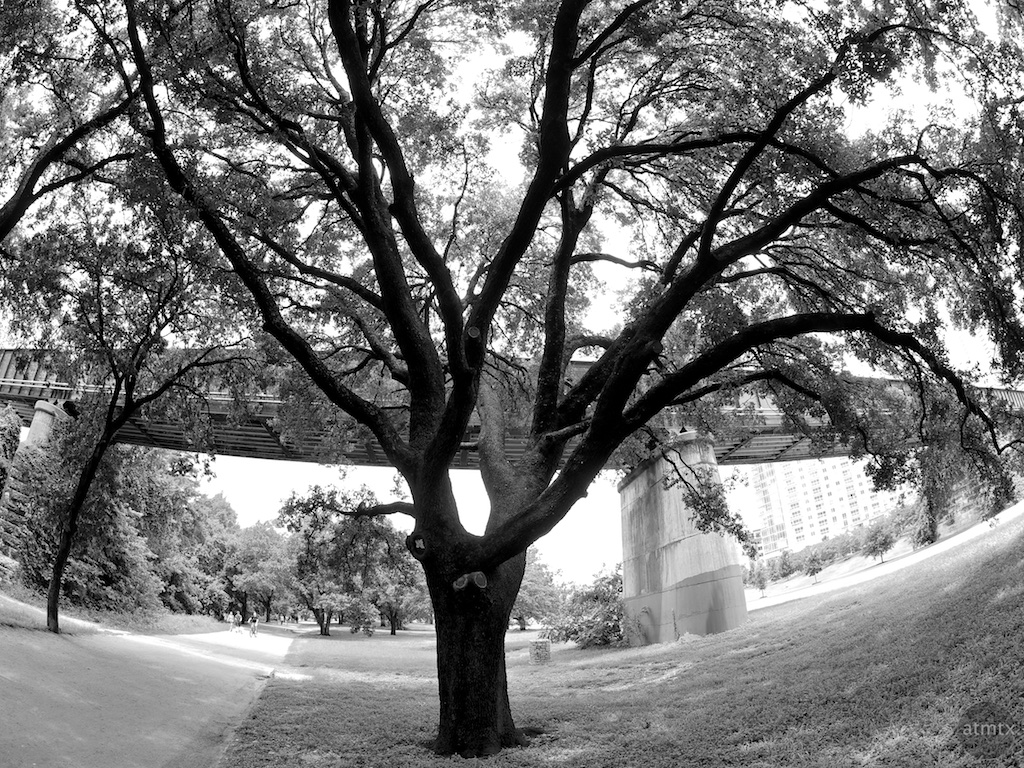 Mighty Oak in Fisheye - Austin, Texas