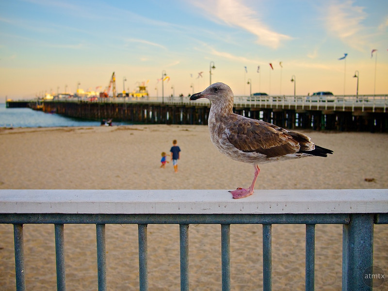 Seagull Profile - Santa Cruz, California
