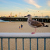 Seagull Profile - Santa Cruz, California