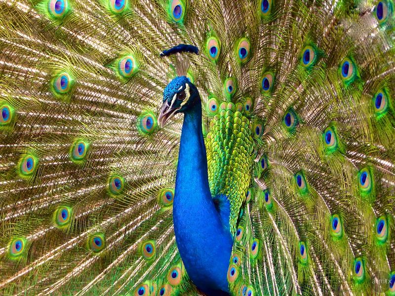 A Peacock at Mayfield Park - Austin, Texas