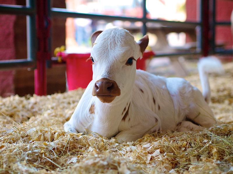 Cute Calf, Rodeo Austin - Austin, Texas