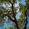 Live Oak in Spring - Austin, Texas