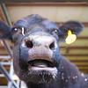 Angus Nose, Rodeo Austin - Austin, Texas