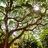 A Grand Tree - Honolulu, Hawaii