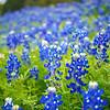 Bluebonnets - Austin, Texas