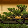 Bonsai Like - Kyoto, Japan