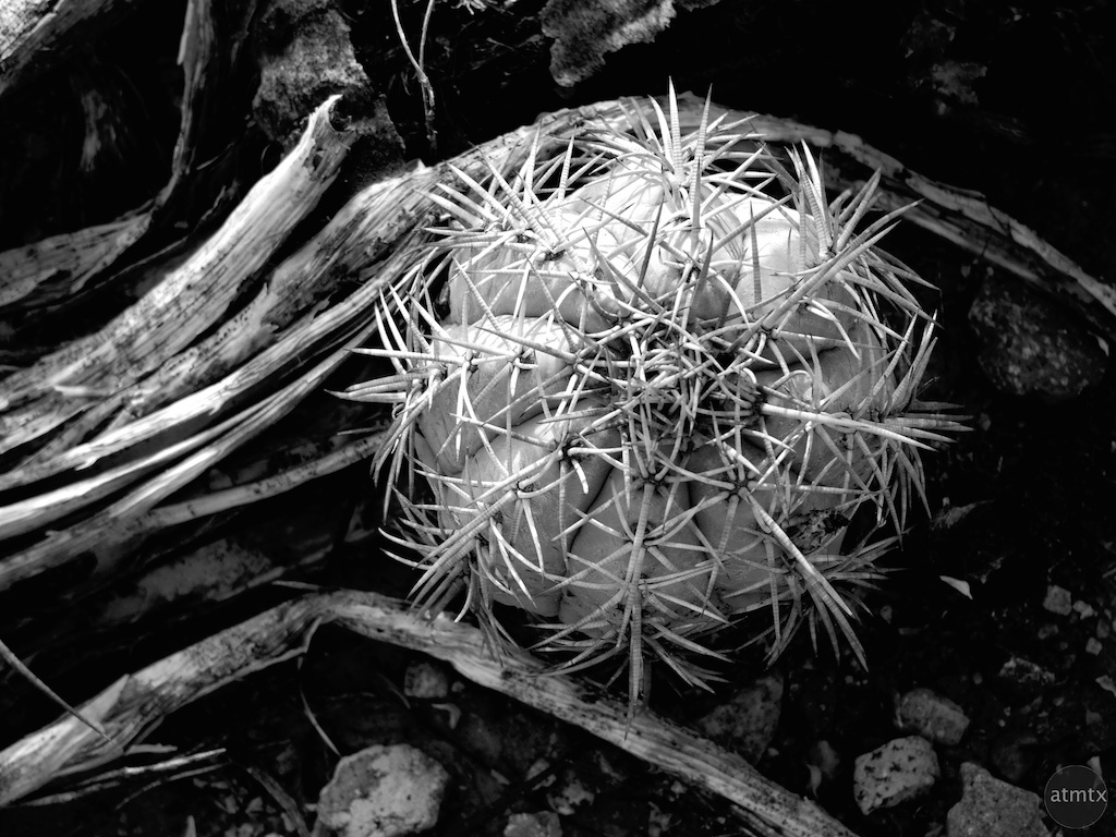 Cactus Closeup - Big Bend National Park, Texas