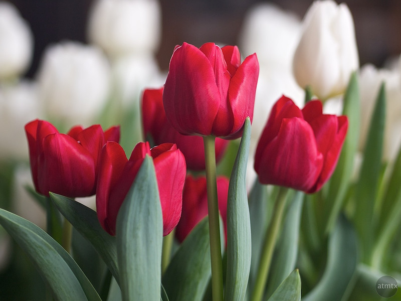 Tulips, Whole Foods Market - Austin, Texas