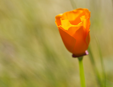 073|California Poppy Dreaming  [I love these simple, delicate, and hardy flowers.]