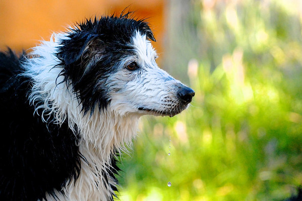 166|Wet Dog [This is Nacho who just finished battle with a sprinkler.]