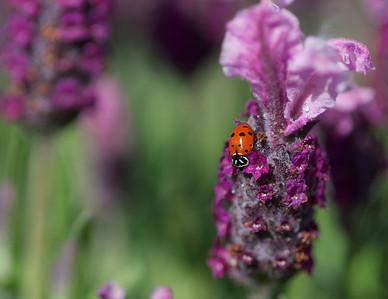 072|Spanish Lavender and Ladybug