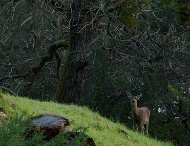 049|Deer
