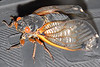 Cicada on a car tire.