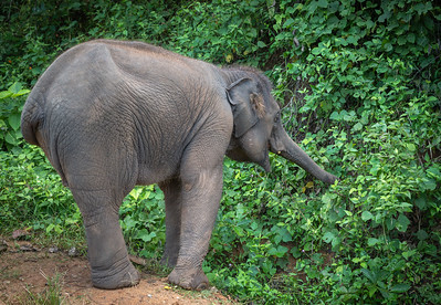 Elephant Rummaging
