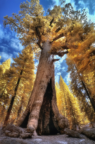 Grizzly Giant