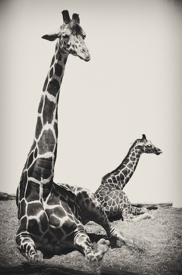 OMG a Baby Giraffe and her Mommie!  ... I have been hanging out a lot with my daughter lately ...