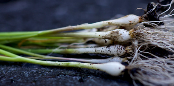 Mr Fothergillis, Spring Onion, White Lisbon, Winter hardy