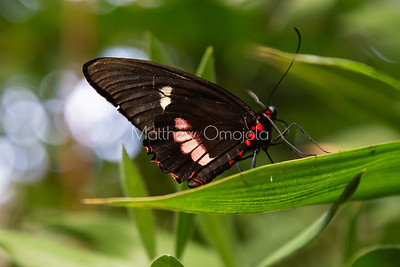 Pink cattleheart butterfly. Arcars  butterfly.