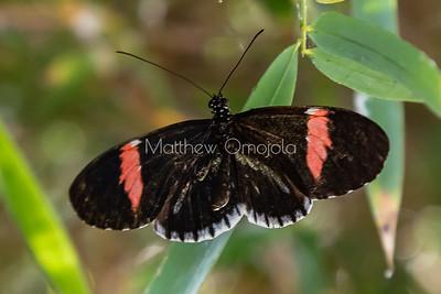 postman butterfly, piano key butterfly