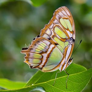 Malachite butterfly with folded wings. Siproeta stelenes butterfly.